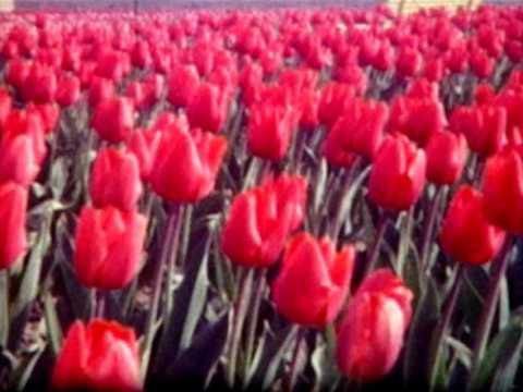 Champs de tulipes ; Défilé folklorique